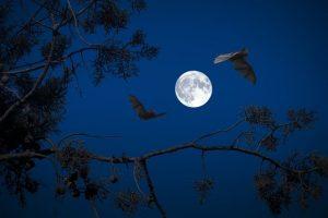 לכידת עטלפים