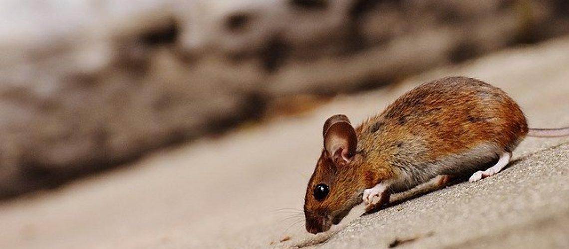 הדברת עכברים בתל אביב